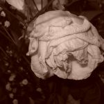 White rose wilting, shot with sepia filter, Mary Warner, September 2015.