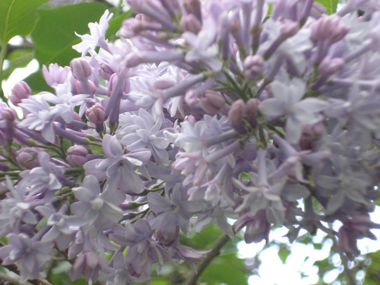 Time Again for Lilacs