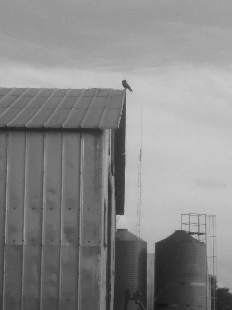 Moody crow looking over its shoulder, photo by Mary Warner, June 25, 2018.