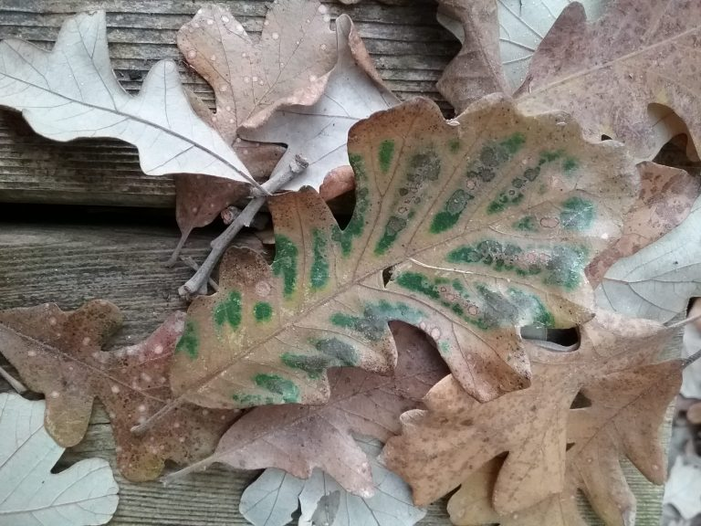 A particularly lovely oak leaf, by Mary Warner, October 13, 2018.
