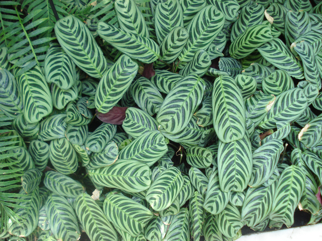 Leaves, Como Park Conservatory, Mary Warner, 2009.