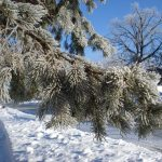 Hoarfrost pine, Mary Warner, 2007.
