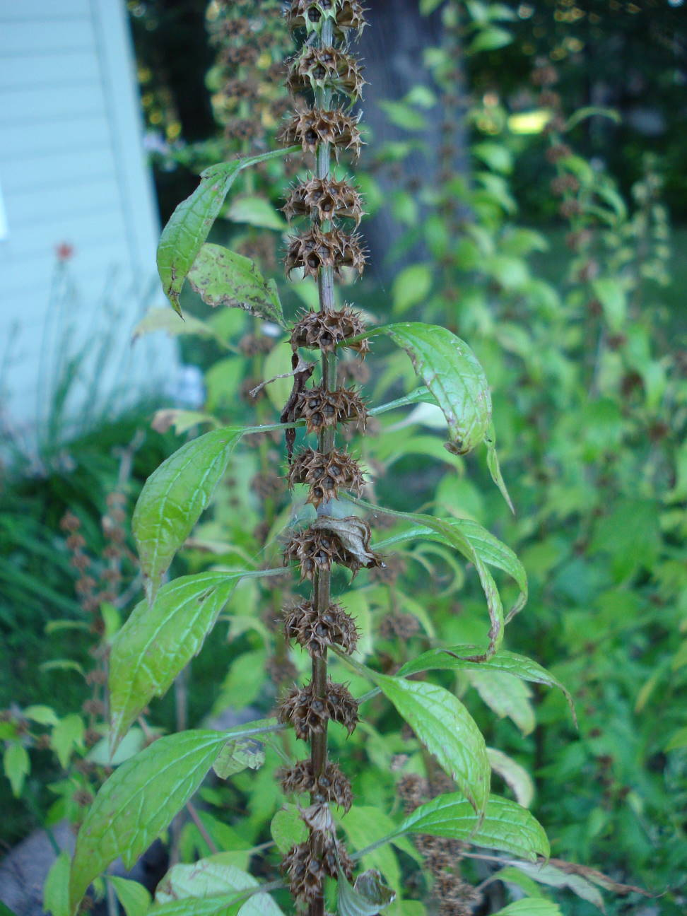 Motherwort at the end of summer, August 25, 2015, by Mary Warner.