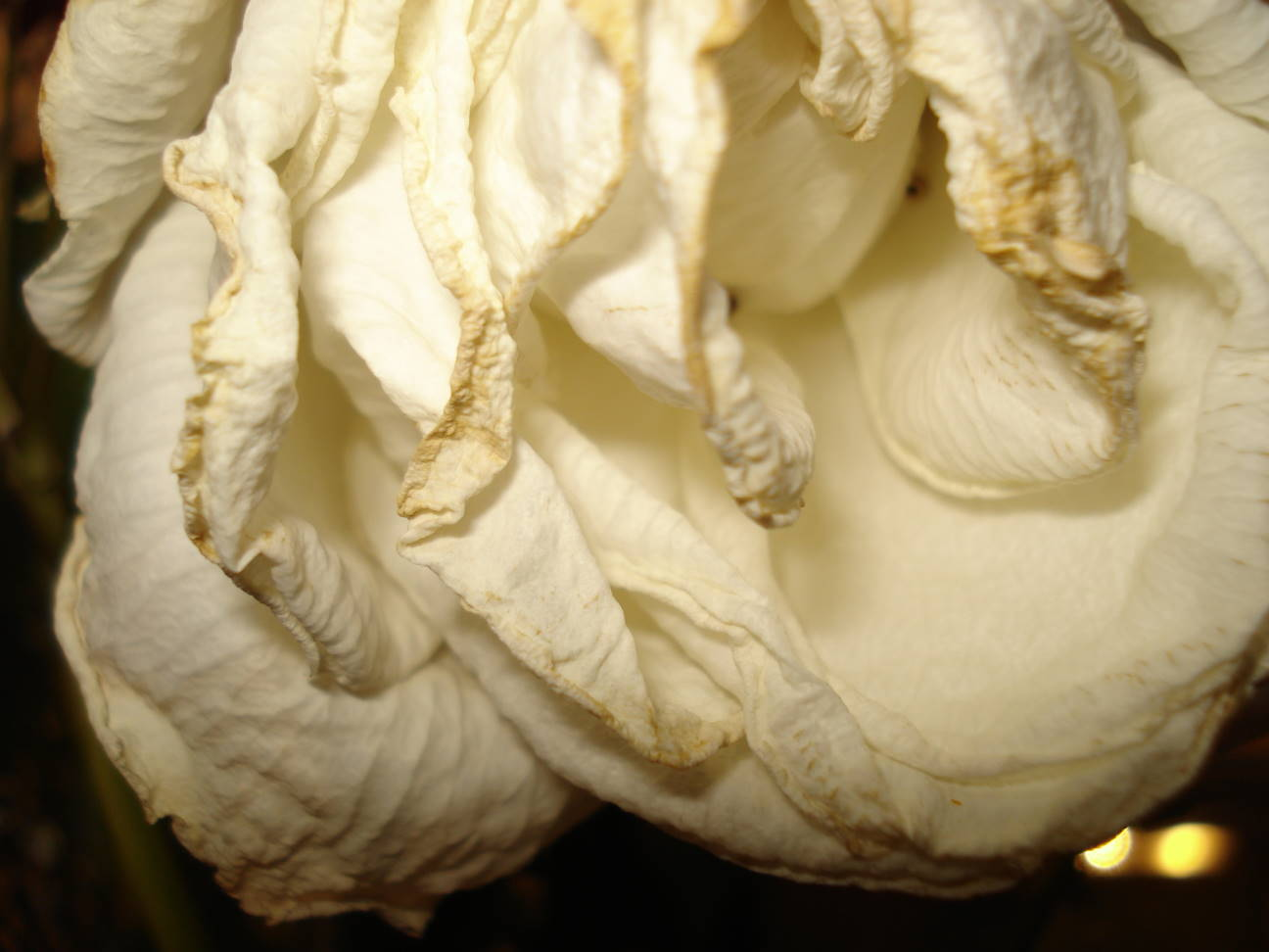 Wilted white rose, by Mary Warner, September 2015. - See how much this one looks like fabric?