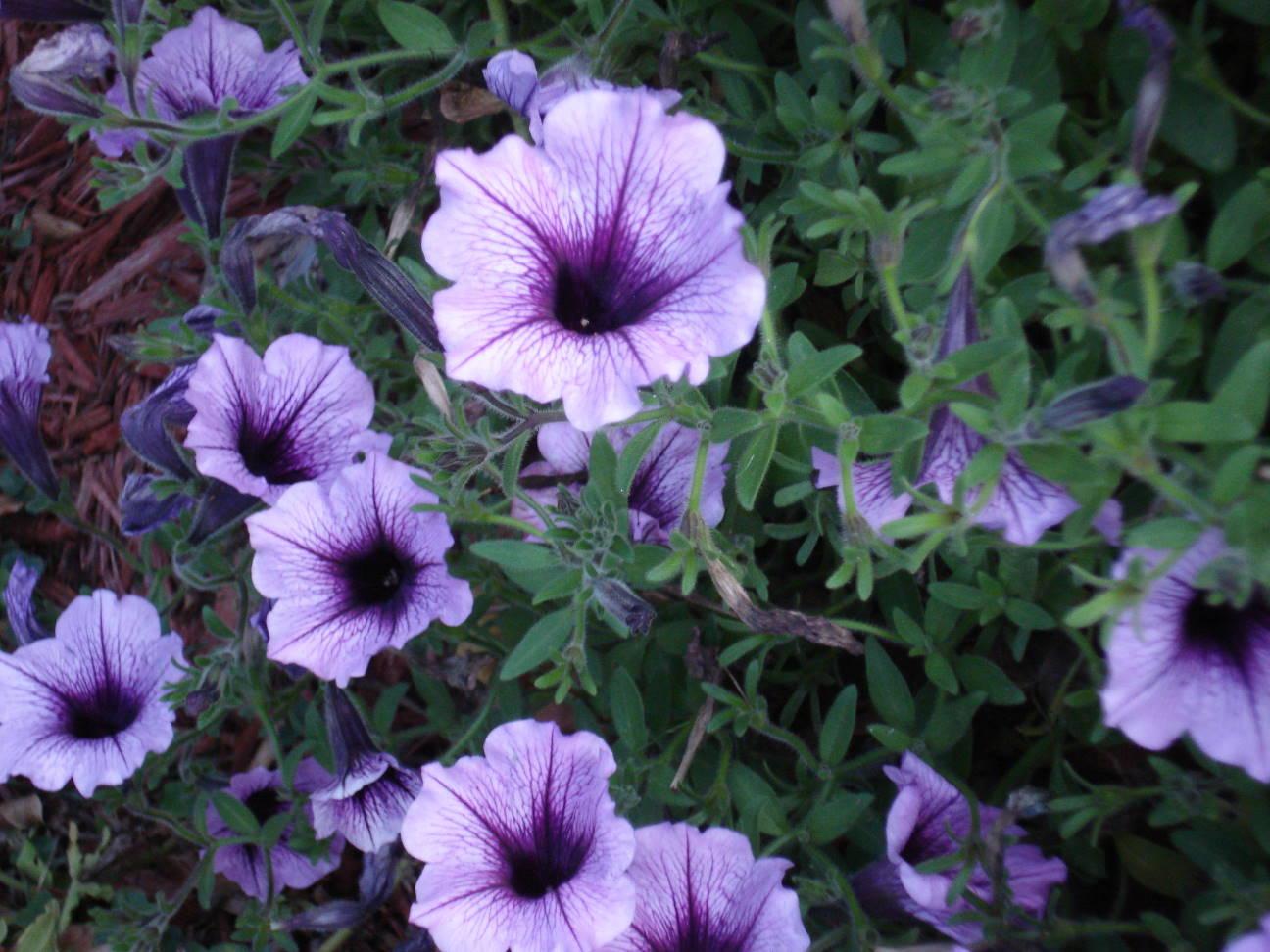 Purple petunias by Mary Warner, September 2015.