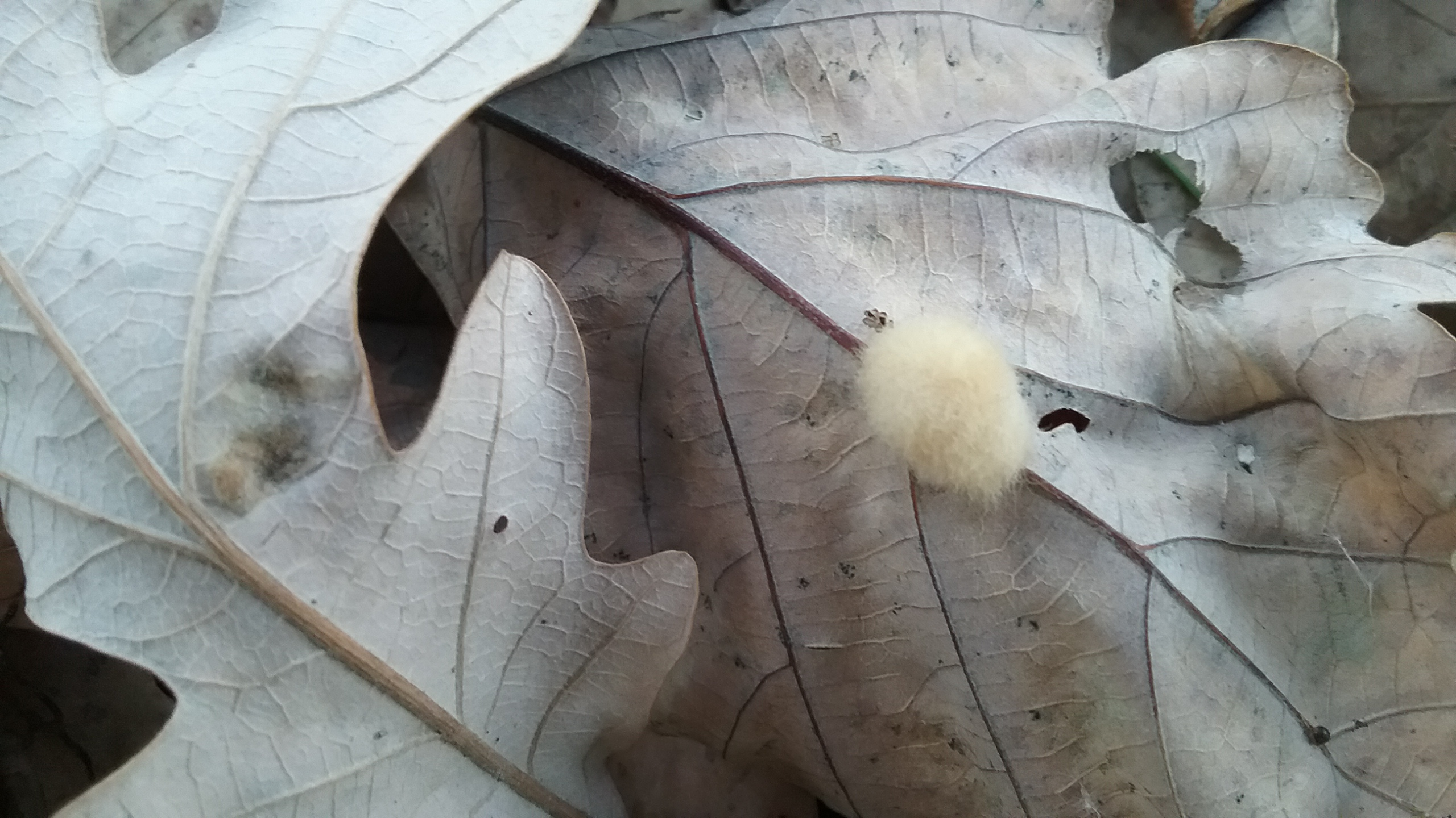 Cream-colored gall on oak leaf, October 2016. Photo by Mary Warner.