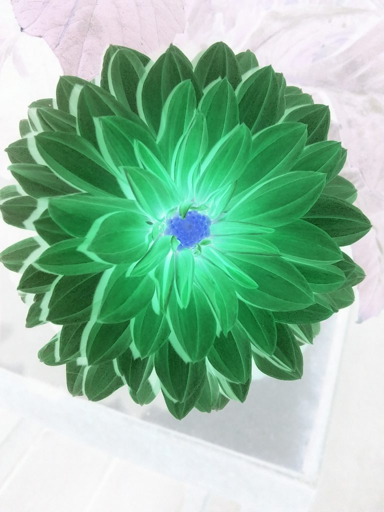 Negative dahlia, Mary Warner, June 21, 2020.