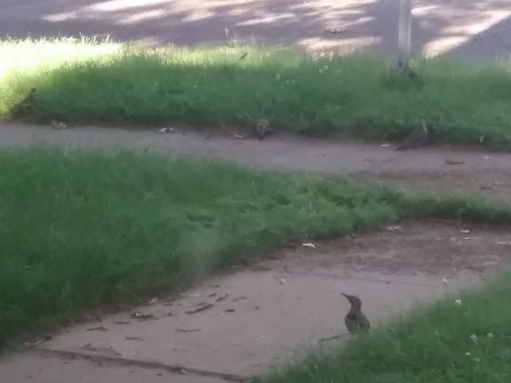 Four woodpeckers eating along the sidewalk, July 10, 2020.