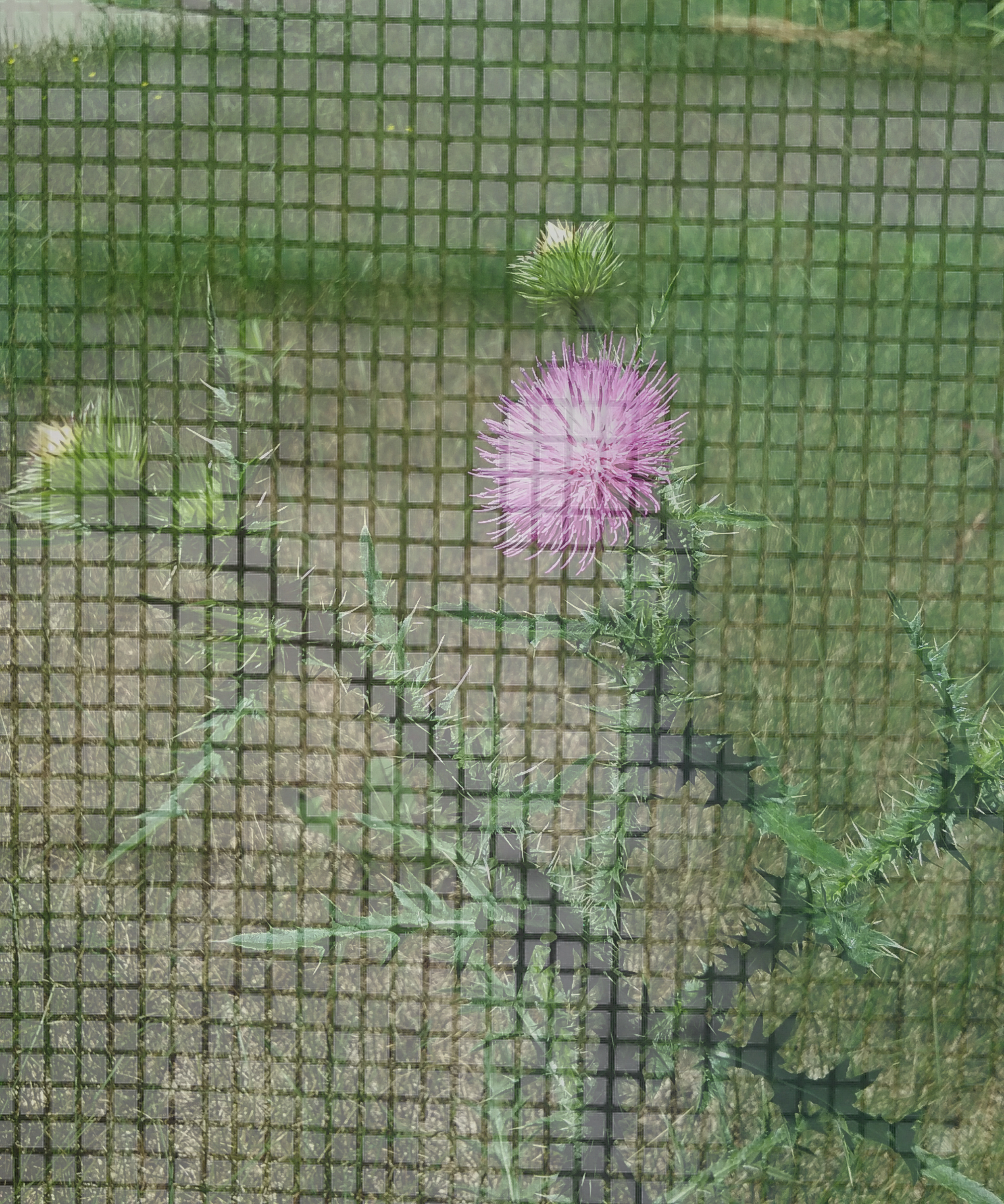 Thistle and screen merged, July 11, 2020.