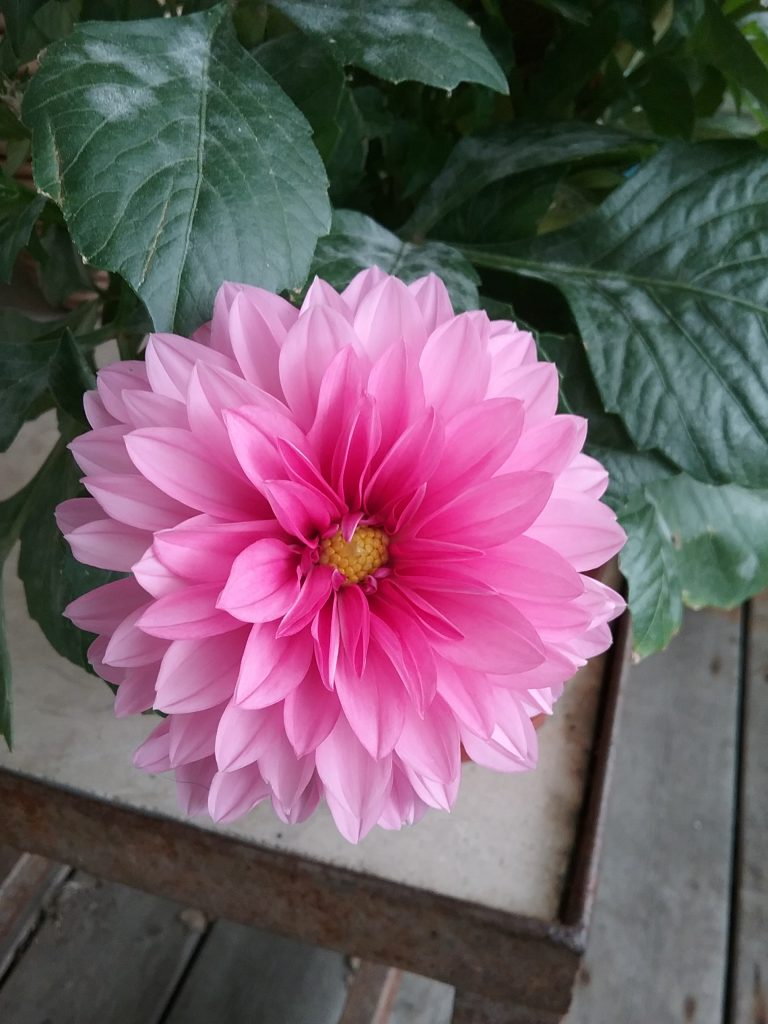 Pink dahlia, by Mary Warner, June 21, 2020.